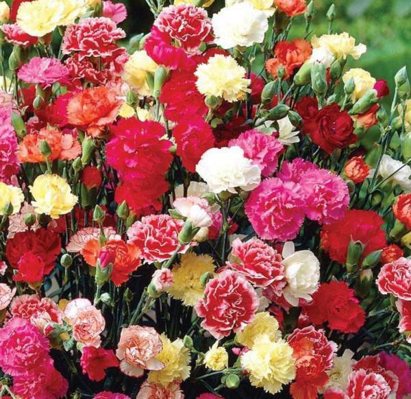 Hoa cẩm chướng đẹp mê hồn